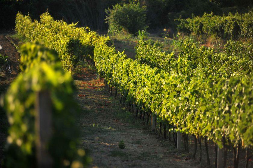 """Poziv vinogradarima na predavanje """"Zlatna žutica vinove loze i suzbijanje Američkog cvrčka"""""""