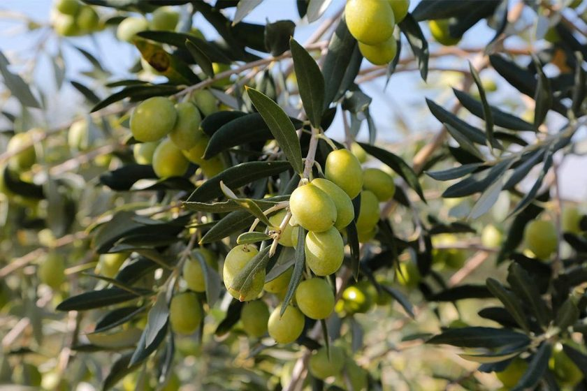 Obavijest maslinarima: Preporuča se i dalje tretirati masline protiv maslinine muhe